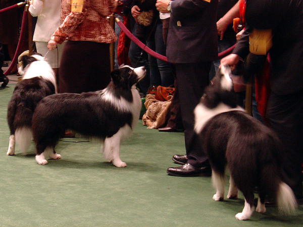 800px-Border_Collies_Westminster_Dog_Show